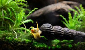 do snails eat fish poop
