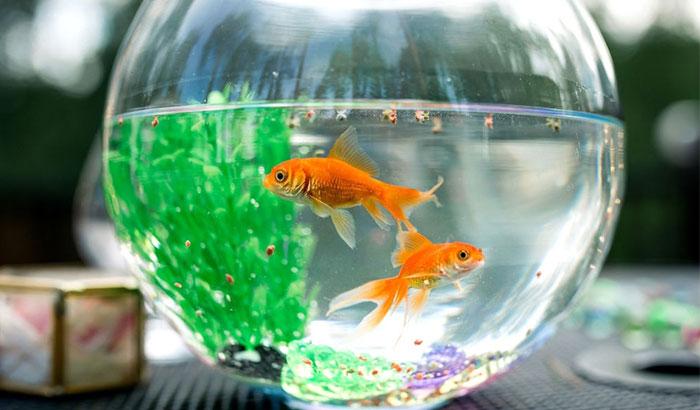 feeding goldfish in the aquarium