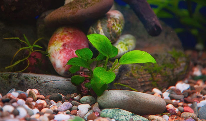 how to plant anubias nana