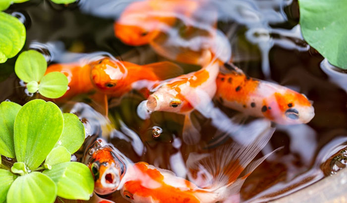 what do goldfish eat in the wild