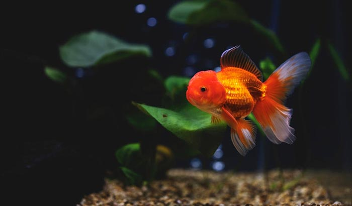 reasons why goldfishes turn white