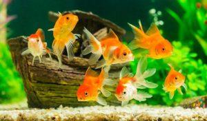 why did my goldfish turn white