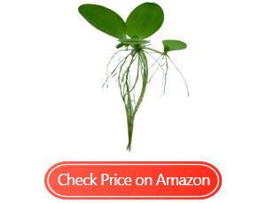 aquarigram leaf water lettuce
