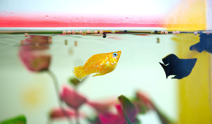 can you use distilled water in a fish tank