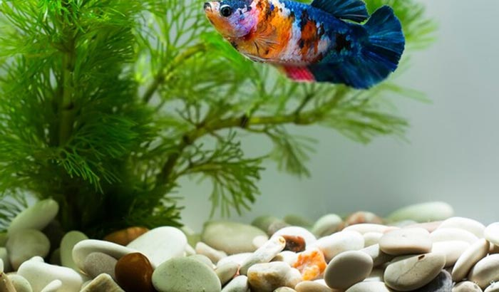 how to clean rocks in fish tank