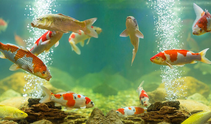 how to lower ammonia levels in fish tank naturally